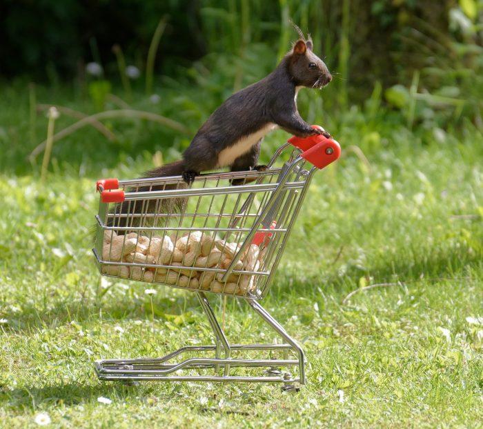 Eichhörnchem in Sammellaune
